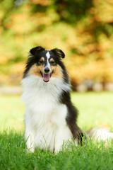 One Shetland Sheepdog Dog