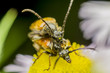 Blister Beetle Mating