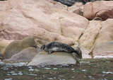 Steller Sea Lion on rocks