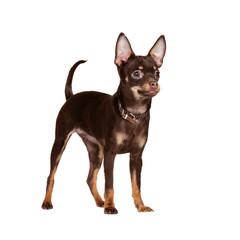 Russian Toy Terrier in studio