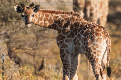 Giraffe baby in the Etosha national park in Namibia