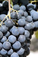 Grappe de raisins noirs