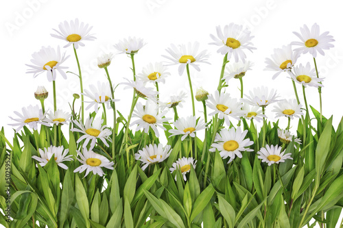 Daisies meadow isolated fragment