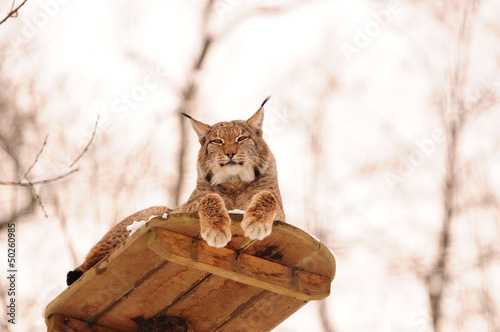 Foto op Canvas Lynx roosting lynx on an observation deck in the zoo
