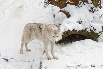 Tundra wolf (Canis lupus arctos) on the snow