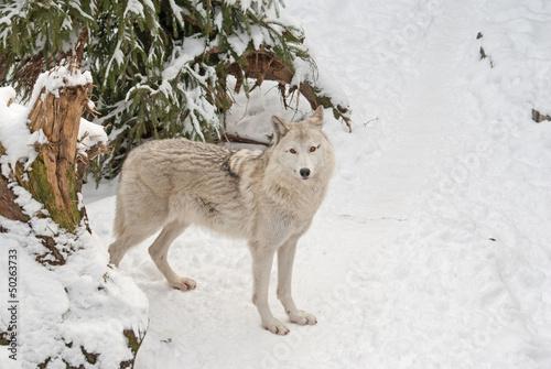 Tundra wolf (Canis lupus arctos) on the snow