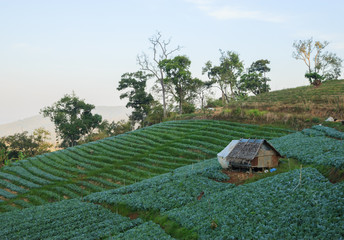 Cabbage fields in winter at Chiangmai : Thailand