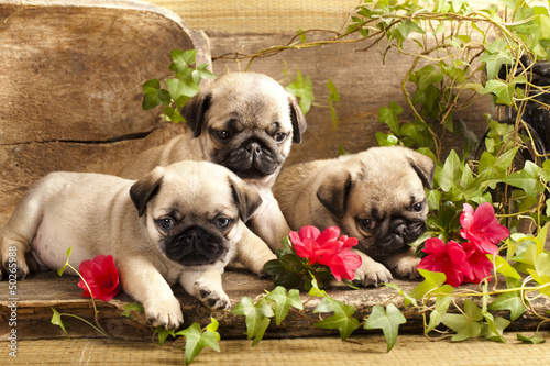 pug puppies and flowers in retro backgraun