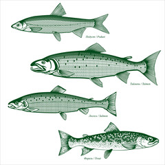 Fish freshwater vector-4