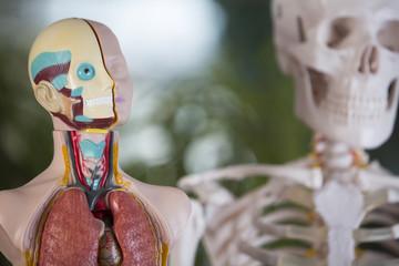 anatomische figur, skelett