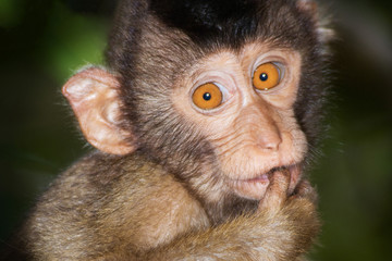 Portrait from a juvenile Pig-tailed Macaque.