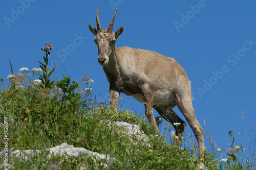 Alpine Ibex on a mountain rim with grass and flowers.