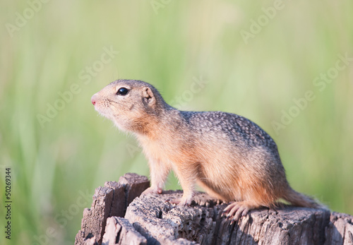 European ground squirrel - gopher