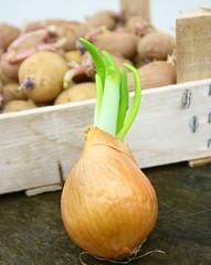 plants d'oignon germé et patates