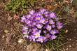 purple crocus on rough ground
