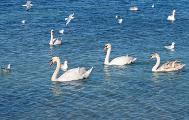 white swans and seagul
