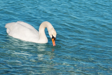 white swan is floating