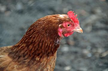 Portrait einer Henne