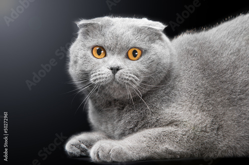 blue scottish fold cat on black background