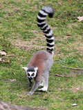 Ring-tailed lemur (Lemur catta) moving on the ground