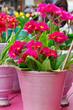 Blumentopf mit Primeln