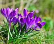 Frühlingserwachen: Violette Krokusse auf Wiese