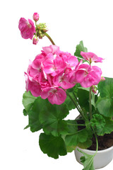 Pink geranium plant on a white background