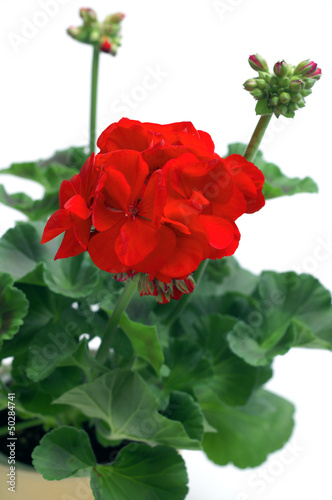 Red geranium plant on a white background
