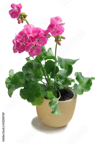 Seedling geranium isolated on white background