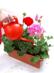Planting - balcony plants - pouring geranium