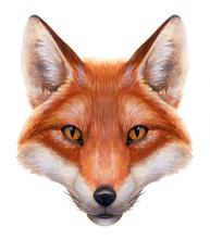 Fox Akwarela Portret