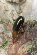 Salpingus ruficollis on wood, extreme close-up