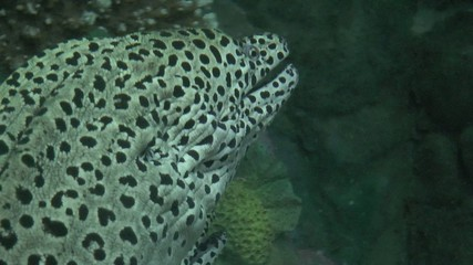 murène léopard dans son rocher