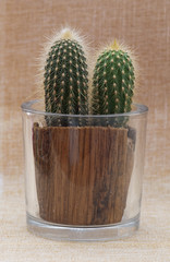 Baby saguaro cactus in a pot