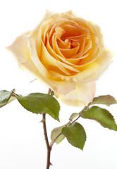 Flowers art closeup. Yellow rose