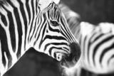 monochrome photo  - detail head zebra in ZOO - Fine Art prints