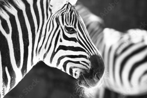 monochromatyczne-zdjecie-szczegolowa-zebra-zebrana-w-zoo