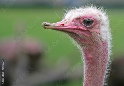 A Portrait of Ostrich