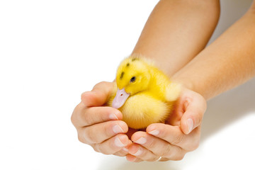 Duck in human hands on white background