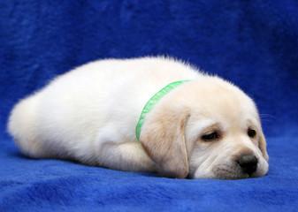 yellow labrador puppy sleeping