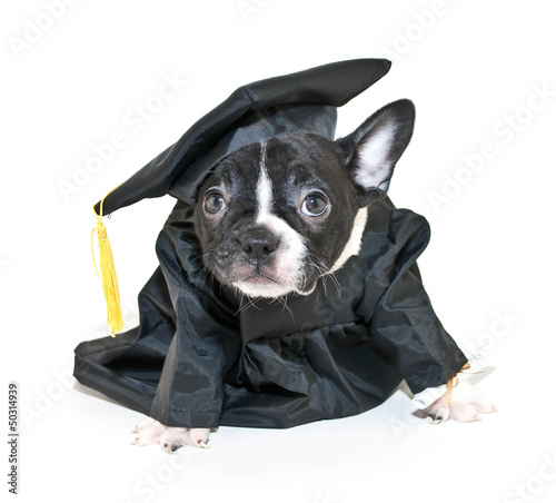 Silly French Bulldog Wearing Cap and Gown