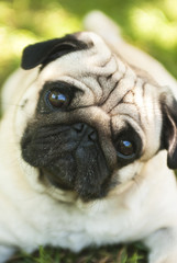 Close-up of Pug on the green grass in the garden (Soft focus)
