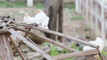 White chicken in the farm