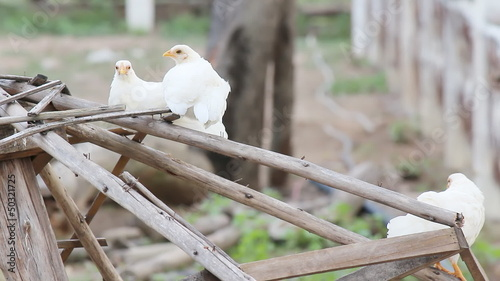 White chicken in the farm