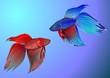 canvas print picture - Kampffisch
