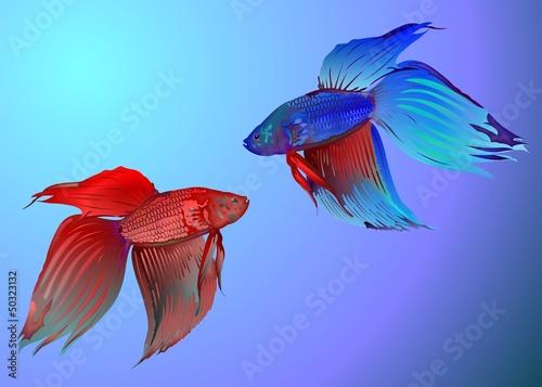 canvas print picture Kampffisch