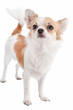 white with red chihuahua dog standing isolated