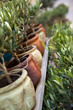 Olivier, plante, arbre, pot, jardin, Provence, terrasse