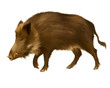 Adult boar. Isolated realistic illustration on white background