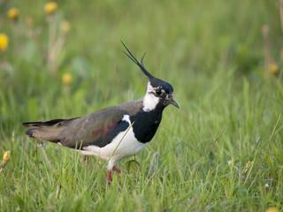 Northern Lapwing; Kiebitz; Vanellus-vanellus